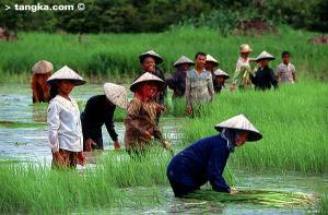 Rizière au Cambodge